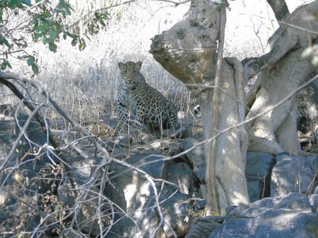 Parc national de Ranthambore ❤️❤️❤️ premier jour