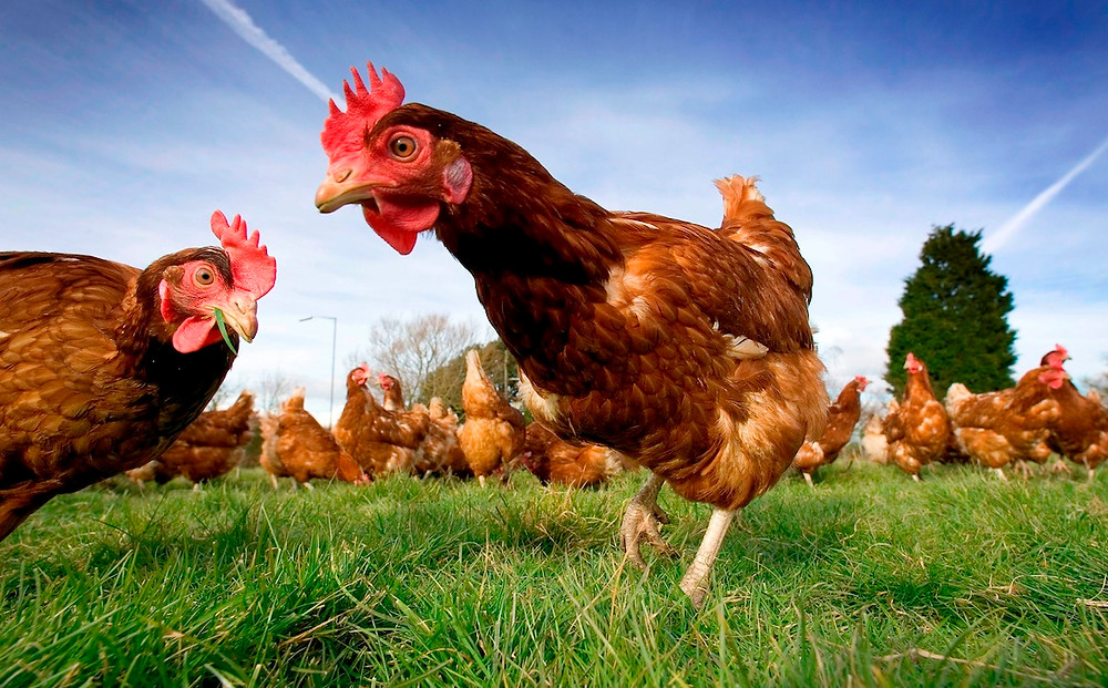 Free_Range_Chickens.jpg
