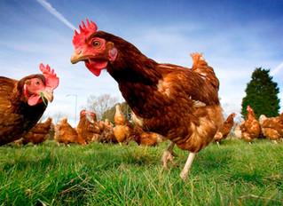 2014: Year of the Free Range Chicken