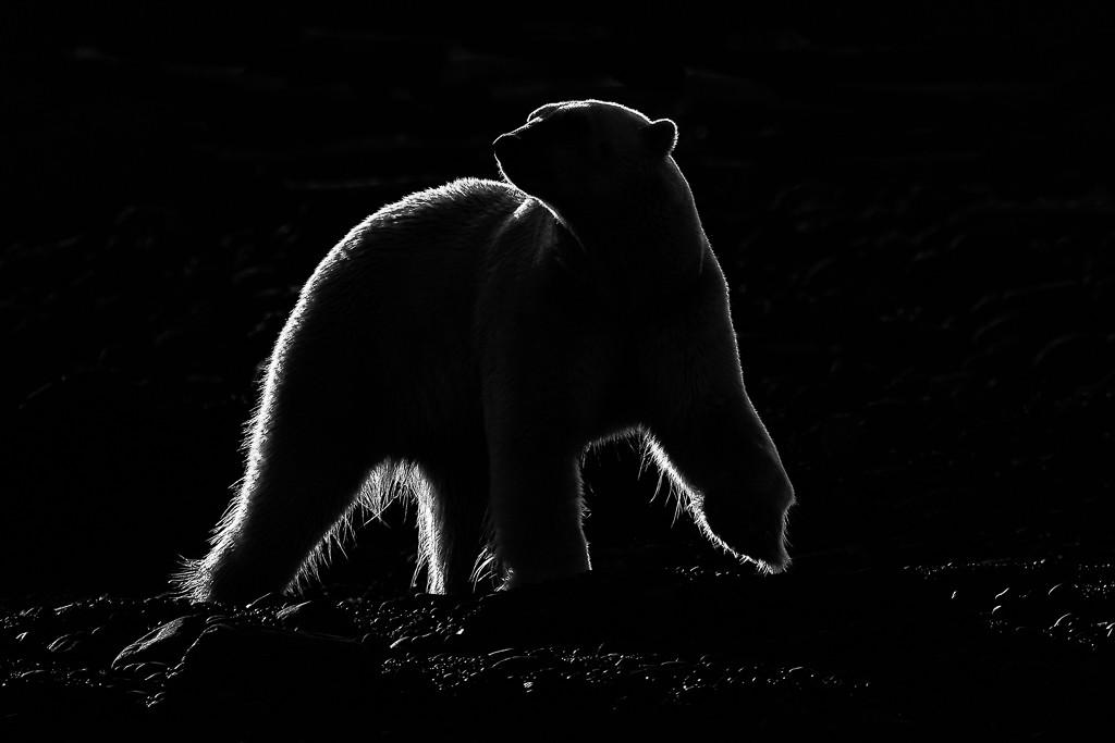 Polar bear in backlight