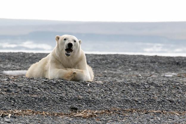 Белый медведь на берегу залива Прончищев