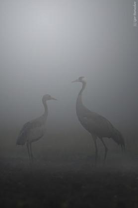 Журавли в тумане_Барташов.jpg