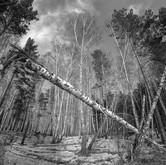 Forest in Shushenskoye