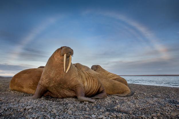 06_Arktischer Regenbogen über den Walros