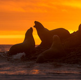 Sea lions songs