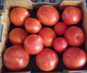 tomatoes%20harvest_edited.jpg