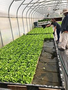 silverleaf lettuce.jpg