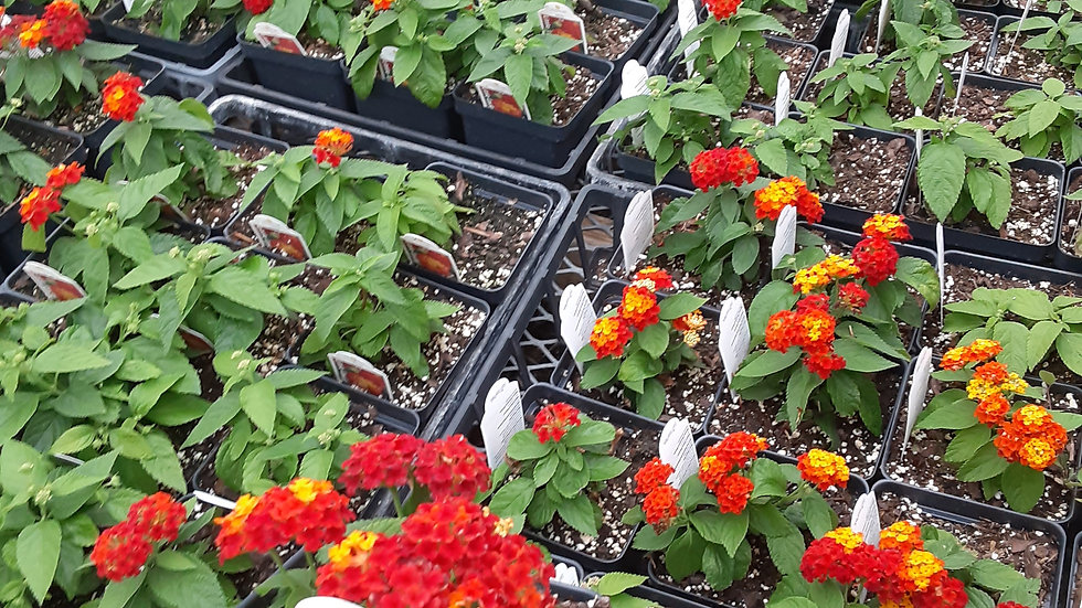 Lantana - Red, Orange and Yellow