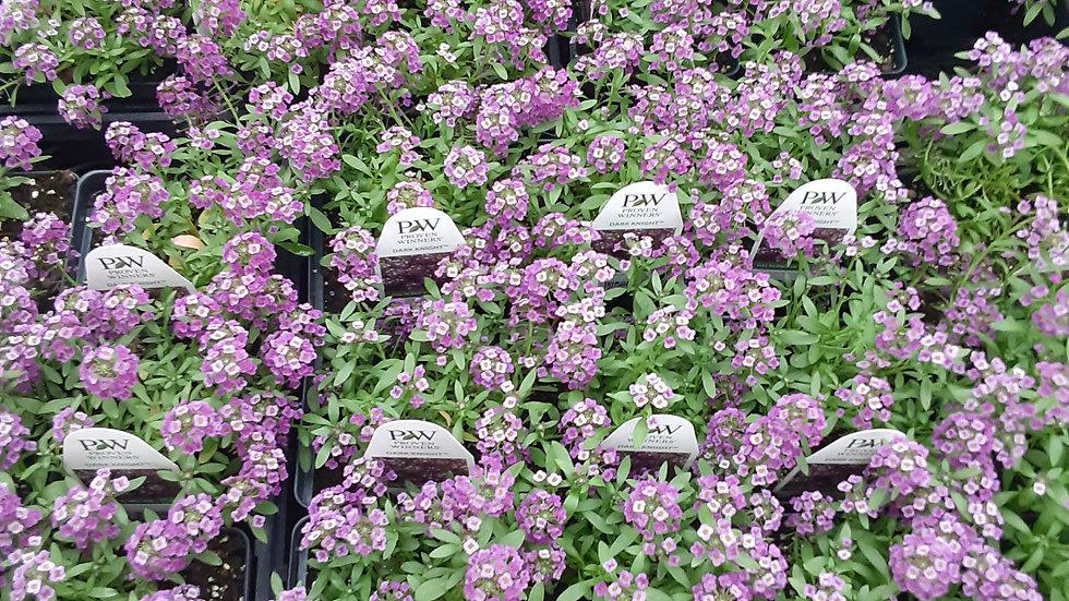 "Lobularia - purple or white 4.5"" potted plant"