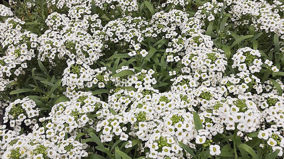 Lobularia- White stream