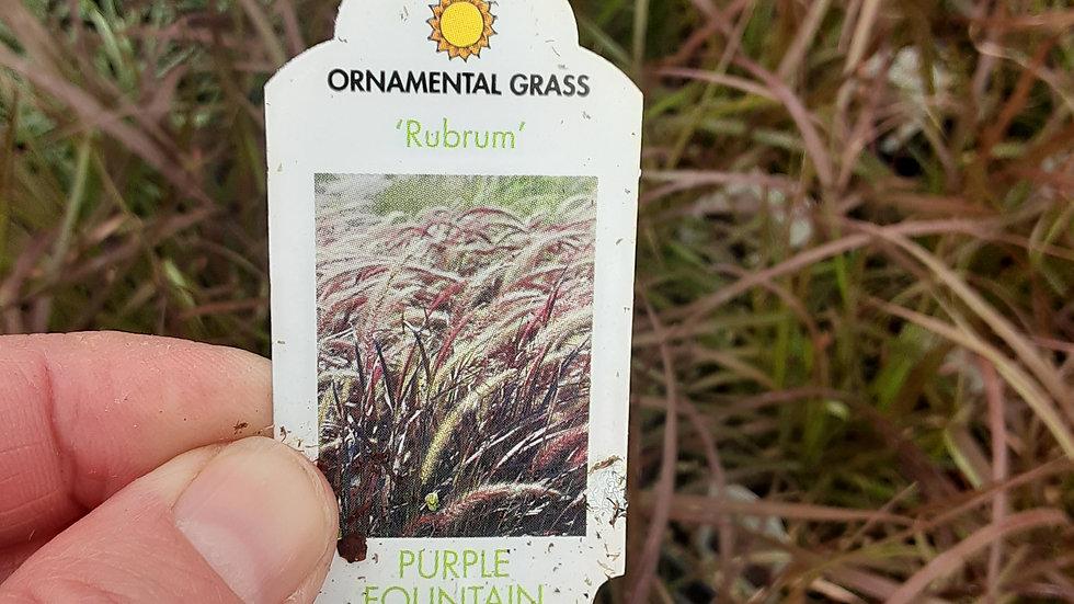 Grass- Purple Fountain
