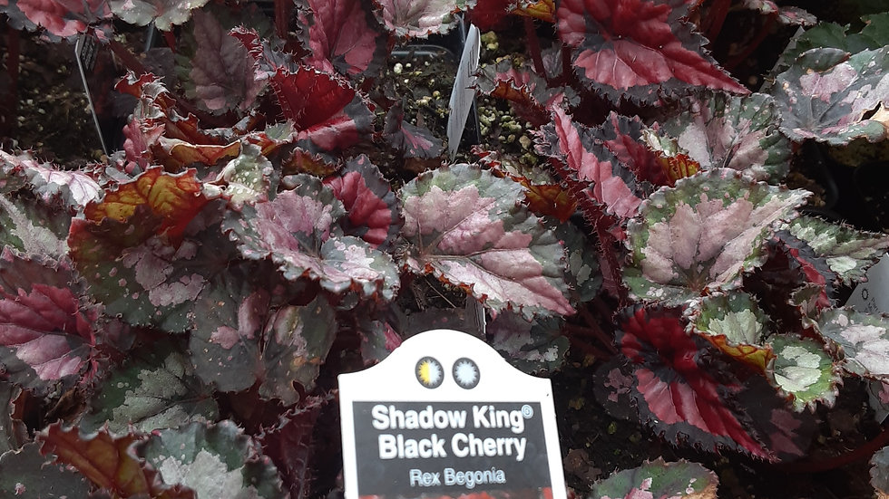 Rex Begonias-Shadow King Black Cherry