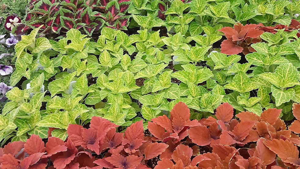 "Coleus - Assorted 4.5"" potted plant"