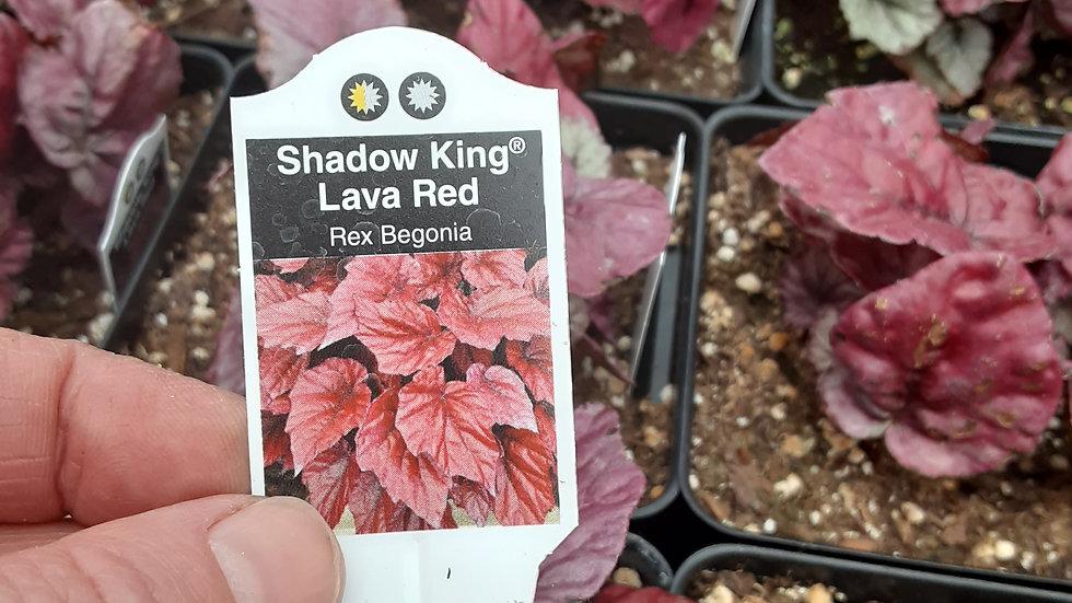 """Rex Begonia Lava Red 4.5"""""""