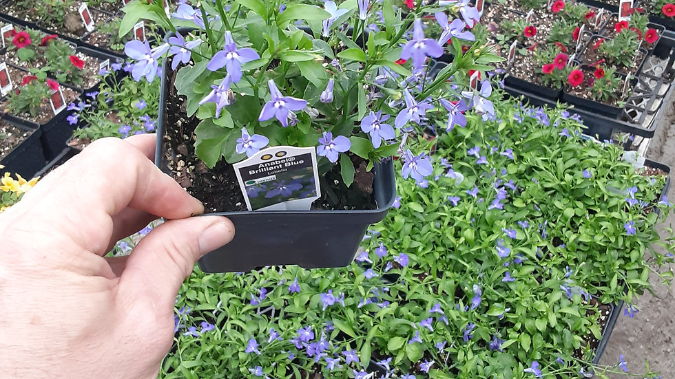Lobelia - Trailing - Blue or White