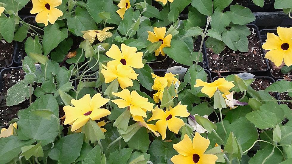 "Thunbergia Black Eyed Susan Vine 4.5"" potted plant"