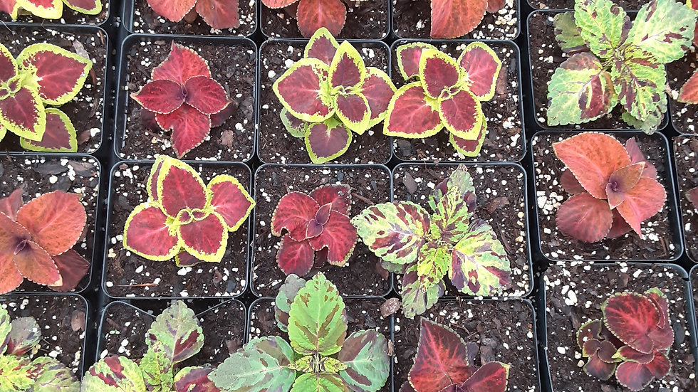 Coleus- Assorted mix 3.5""