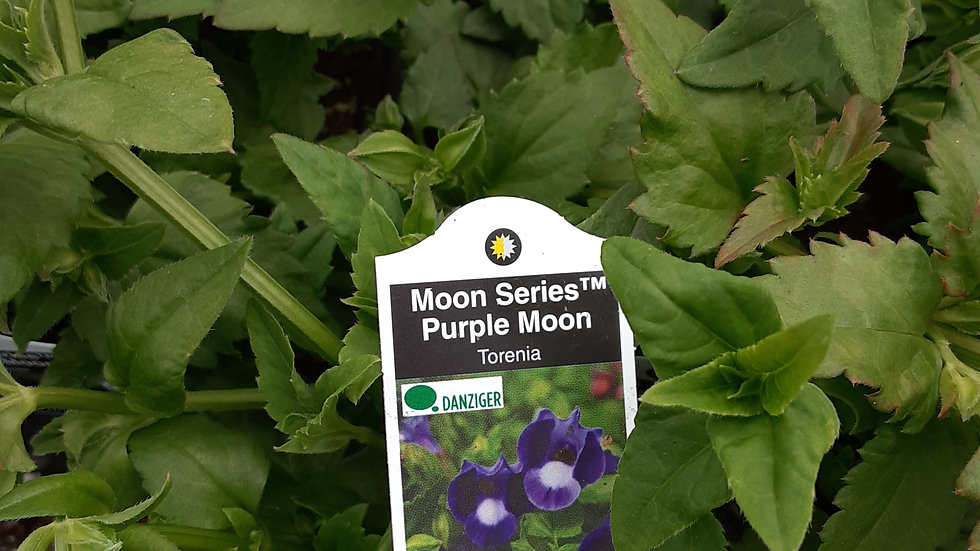 Torenia- Purple Moon