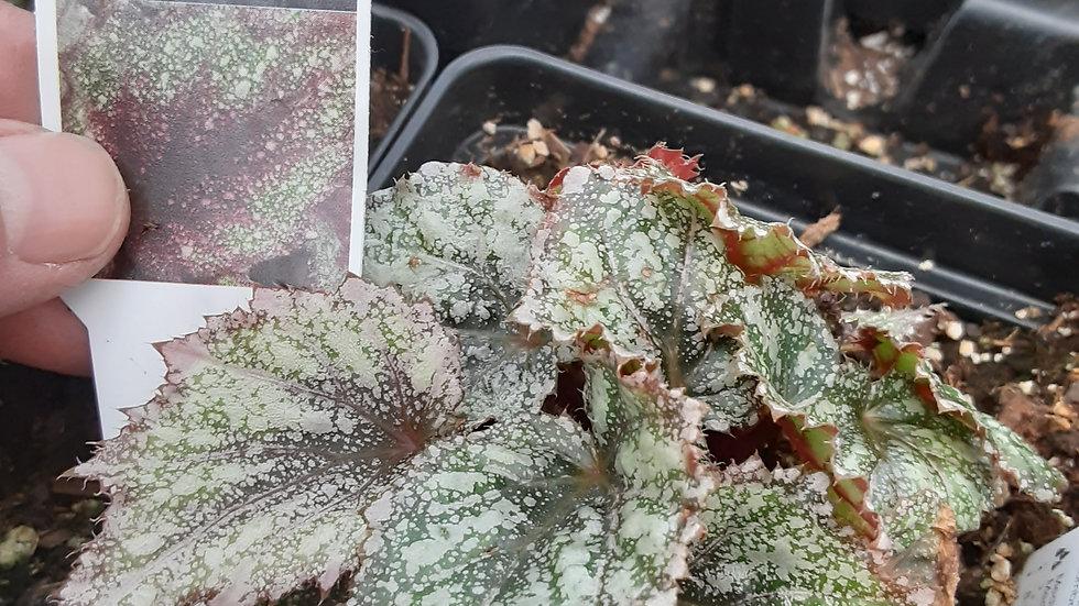 Rex Begonias- Rose Frost
