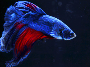 The Ultimate Betta Fish Care Guide