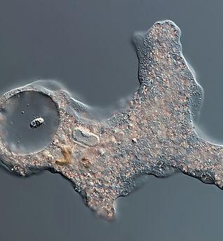 amoeba-proteus-2.jpg