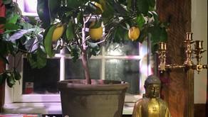 Lyxig Limoncello på egna citroner