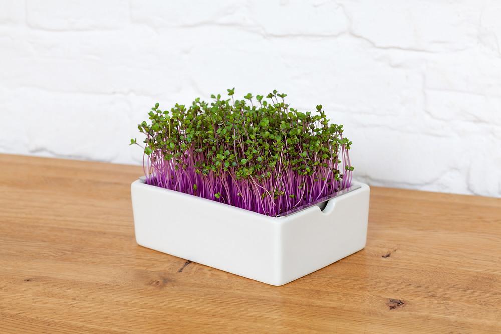PURE! Das digitale Magazin - Microgreens: Der Superfood-Garten für dein Heim