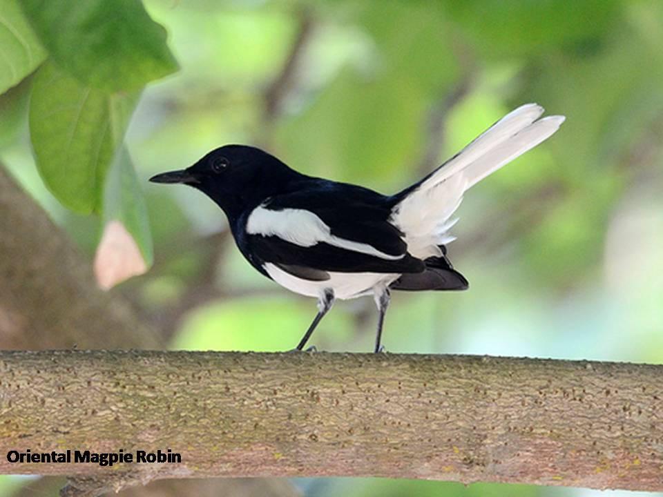 Magpie Robin.jpg