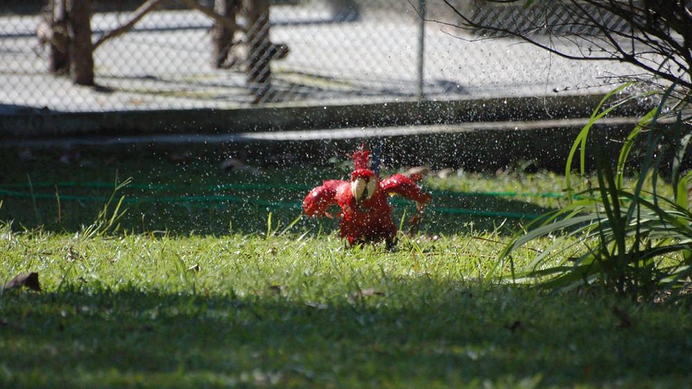 Arara tomando banho - Foto de Felipe Resende