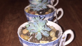 Tea Cup Succulents