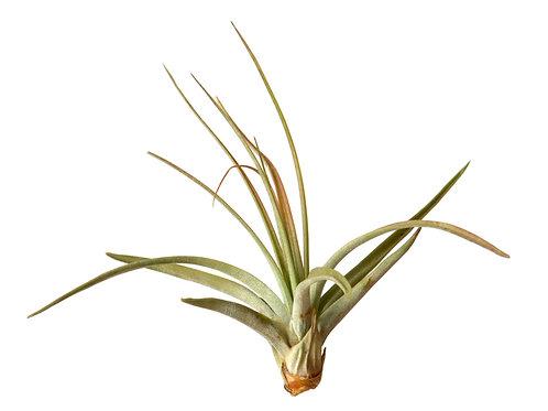 Tillandsia Concolor