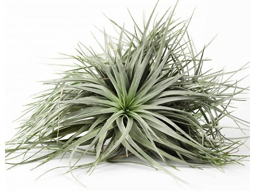 Tillandsia Silver Bouquet