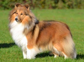 modern day sheltie.jpg