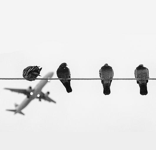 pigeon plane.jpg