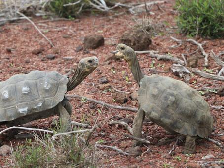 Liberan a 191 tortugas para la restauración ecológica de la Isla Santa Fe