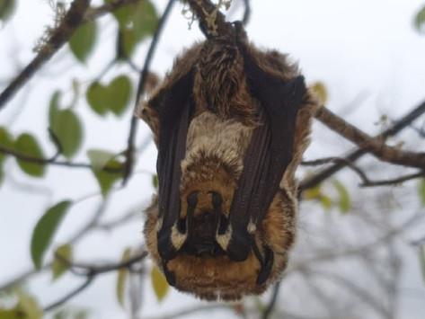 Investigación aporta nueva información ecológica de murciélagos de Galápagos