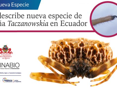 Se describe nueva especie de araña cazadora en Ecuador