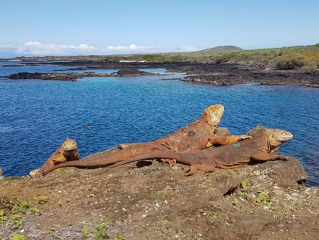 461 iguanas terrestres fueron liberadas en la isla Santiago
