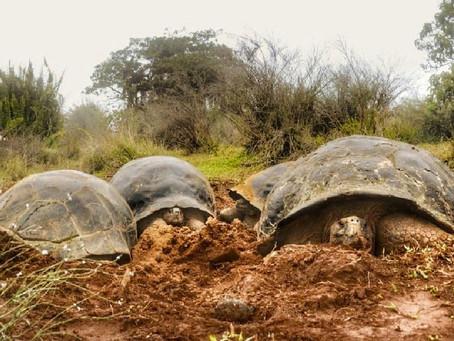 Expedición científica monitoreará población de tortugas gigantes del volcán Alcedo en isla Isabela
