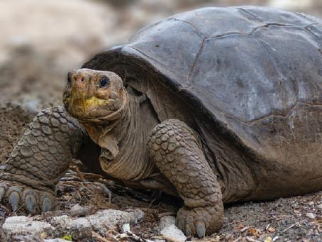 Tortuga encontrada en Fernandina corresponde a una especie considerada extinta hace 100 años