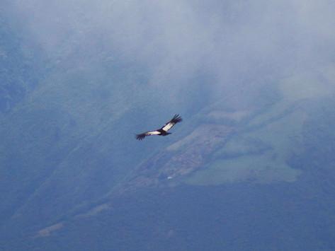 Gualabí vuela libre por los páramos de Imbabura