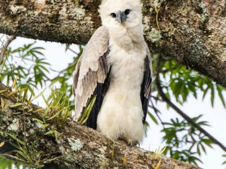 Ecuador y España se unen para proteger al águila harpía
