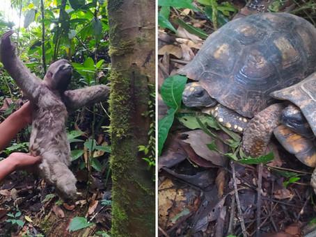 Tres osos perezosos y ocho tortugas motelo regresan a su hábitat natural