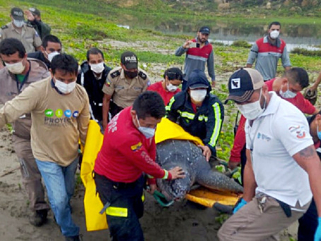 Tortuga marina Laúd varada en las costas de Manabí fue rescatada
