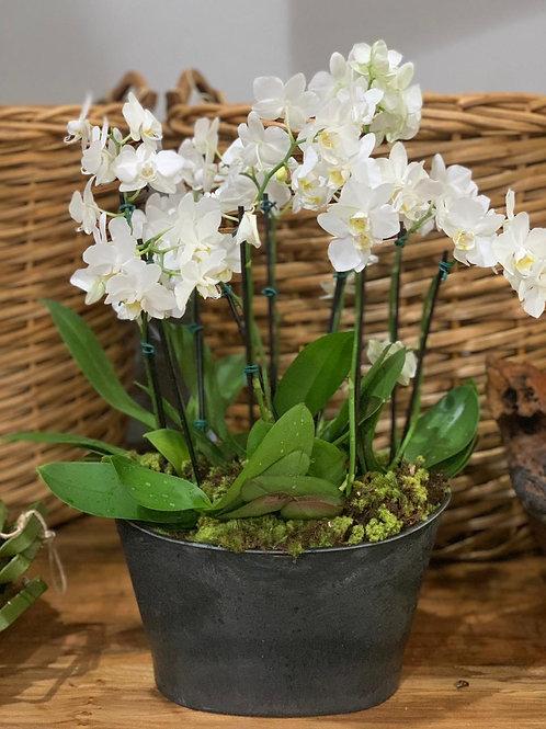 Arranjo de Mini Orquideas em Vaso Oval Resinado