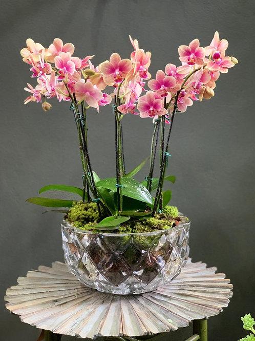 Arranjo de Mini Orquídeas em Vaso de Cristal
