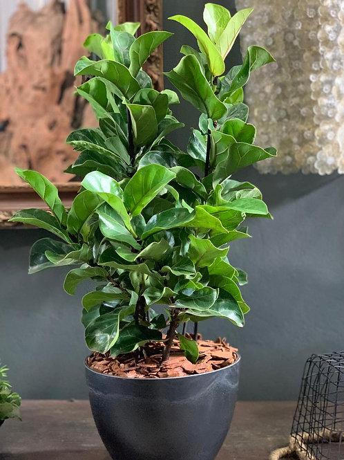 Ficus Lyrata em Vaso Resinado