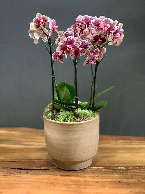Arranjo de Mini Orquideas em Vaso de Cerâmica