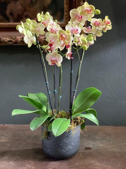 Arranjo com Mini Orquídea