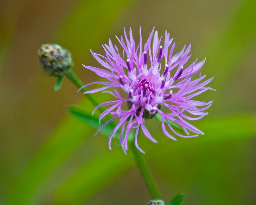 Spotted knapweed (Photo cred: wplynn)